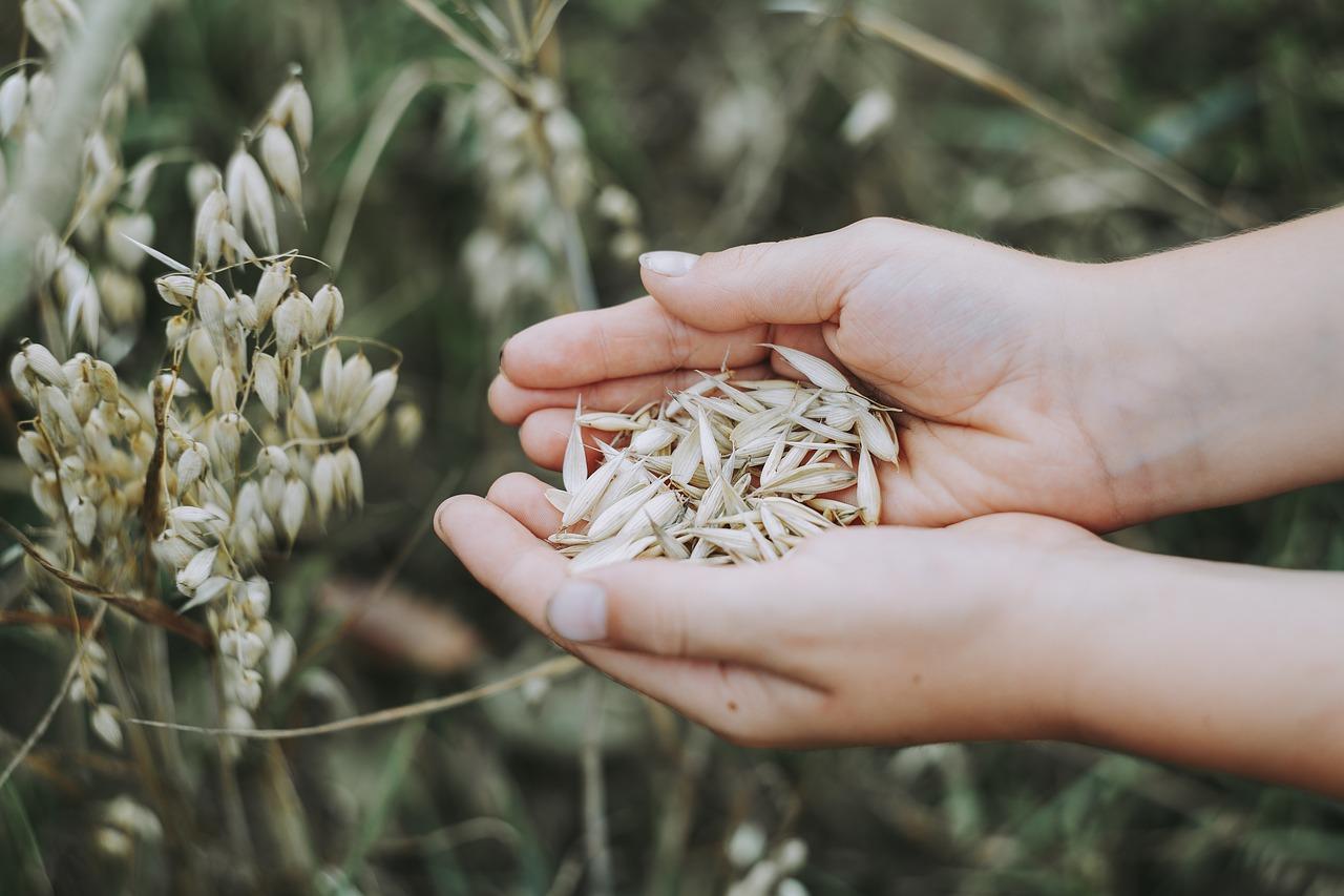 oats, cereals, field